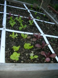 leafy greens in the square foot garden