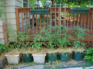 mulched tomatoes