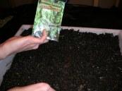 basement lettuce planting