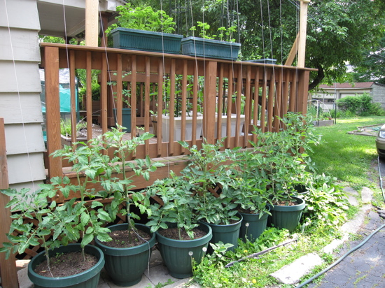 tomatoes working their way up the trellis