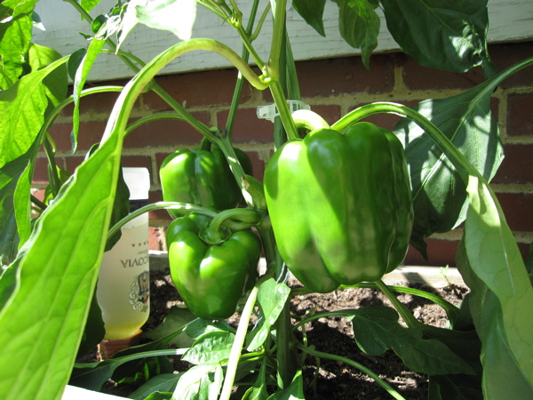 the biggest peppers we have ever grown!