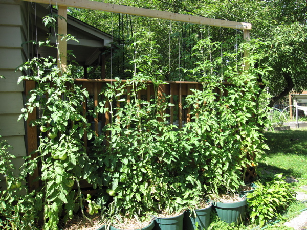 tomatoes have almost reached the top of the trellis