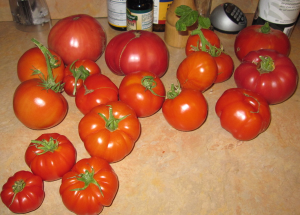 Tomatoes for salsa!