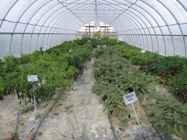 High tunnel growing variety of veggies