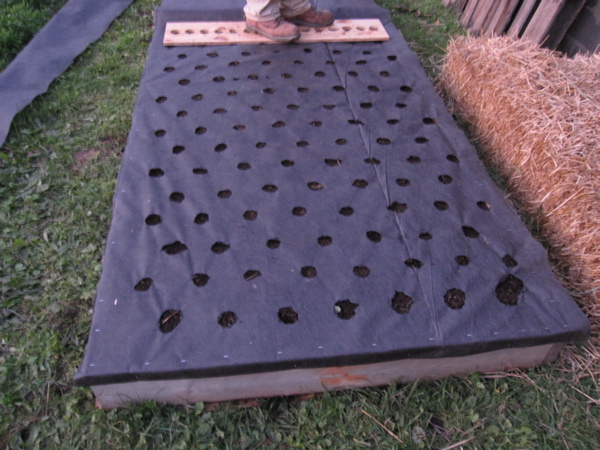 Black landscape cover with holes for each garlic bulb