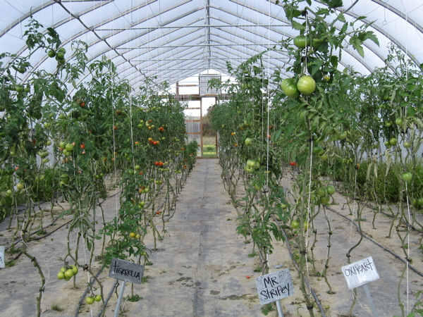 High tunnel growing tomatoes