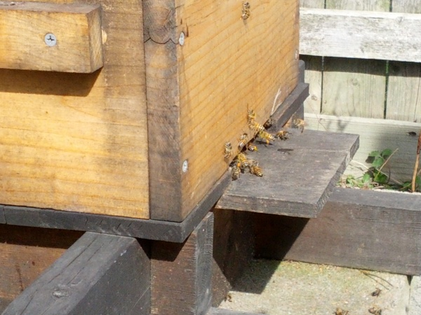 Bees are active and bringing back pollen. You can see some of those that didn't survive near the bottom of the pic.