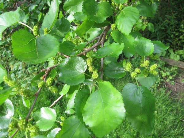 Mulberry tree, perhaps?