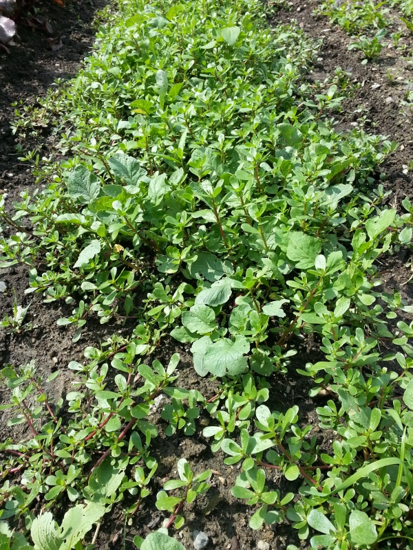 That is supposed to be a bed of radishes, but as you can see the purslane has taken over!