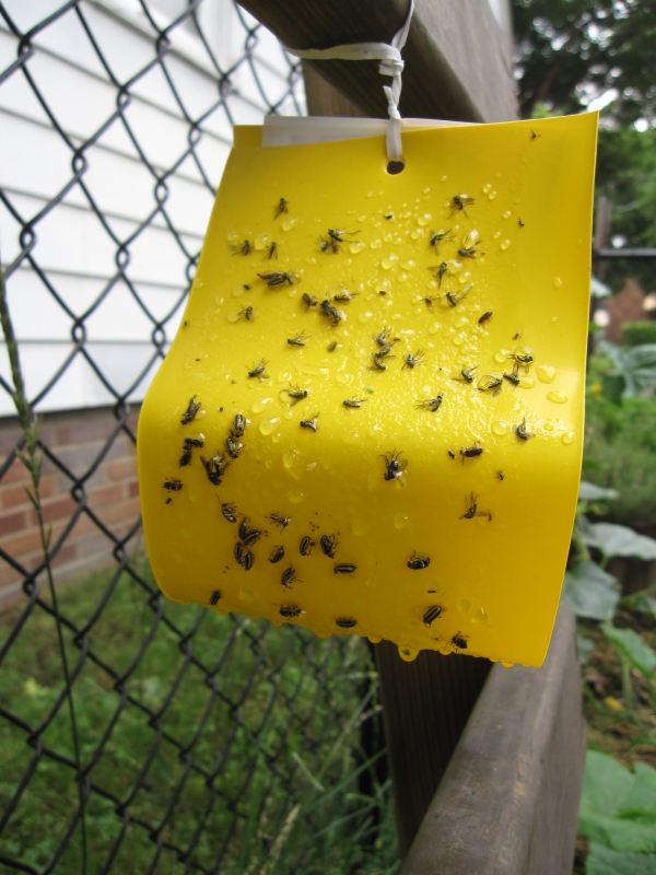 The sticky trap and lure covered with pests.