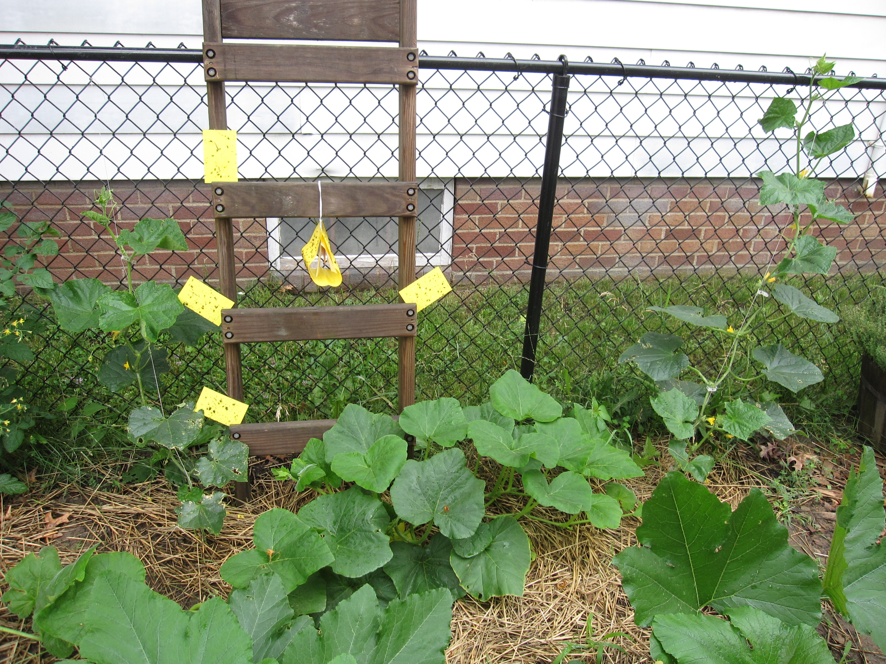 A view of the patch with the yellow sticky cards, trap with lure, and plants.