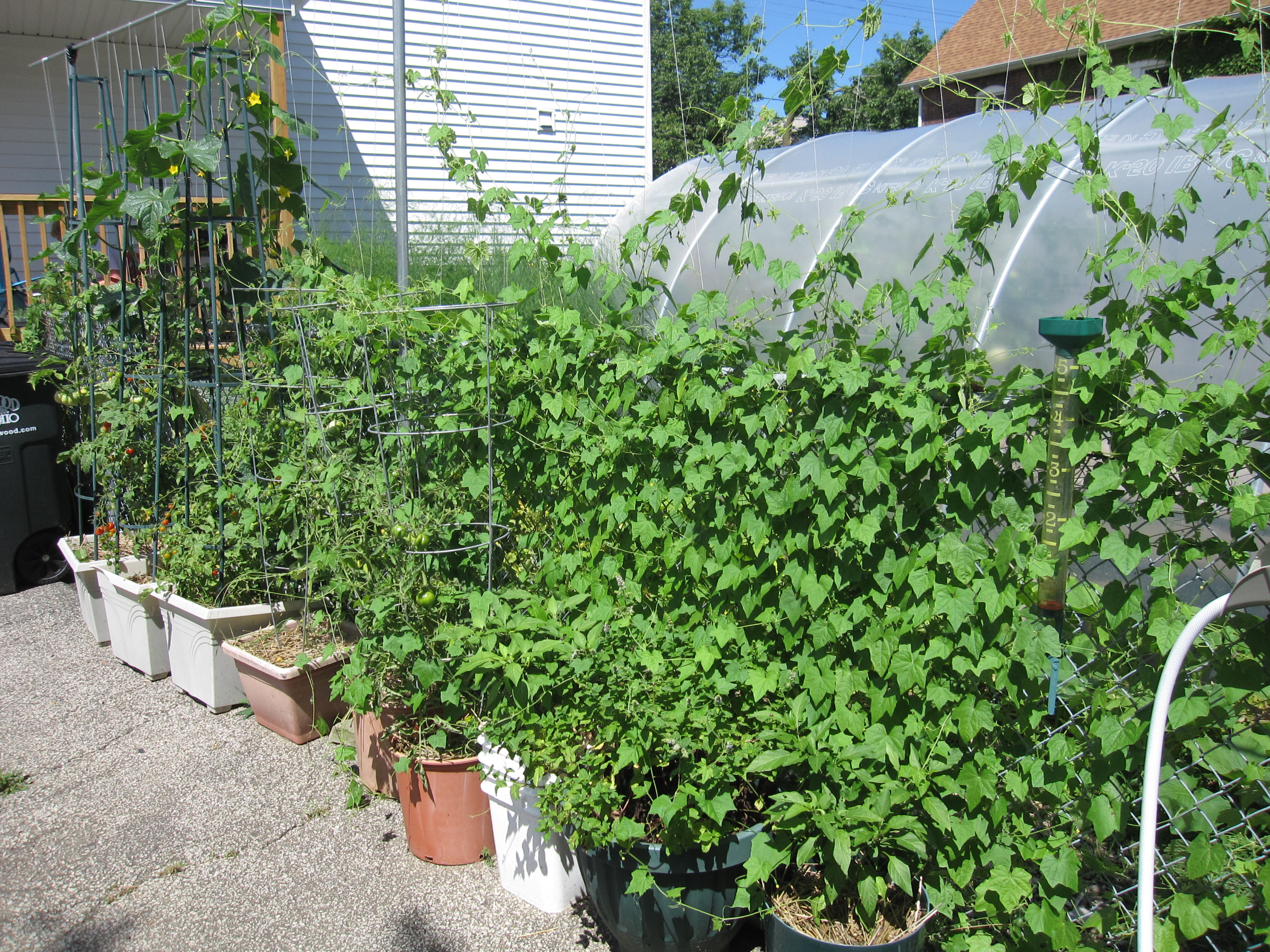 Tomatoes, cukes, Mexican sour gerkins on trellis