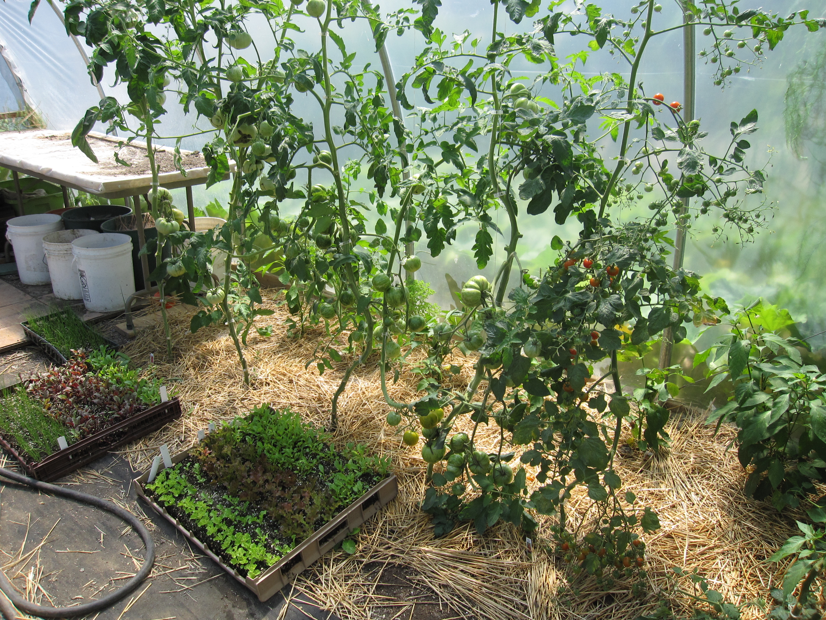 Tomatoes in the hoop house are slow to ripen due to a cool summer