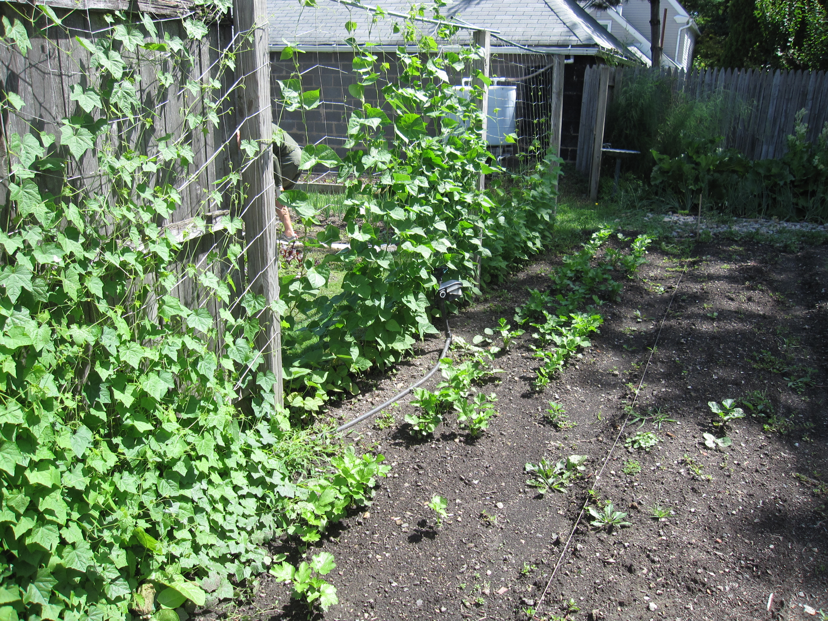 More Mexican sour gerkins (on left) and pole beans