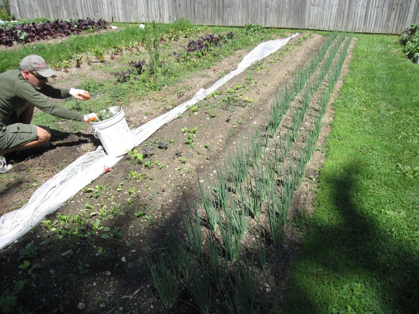Weeding! You can see the difference by looking at the weeded bed of green onions.