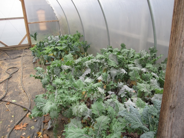Kale in the hoop house should last us through the winter....we hope!