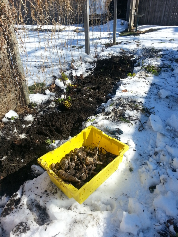 This is the bed that was covered in snow and the dirt covered parsnips.