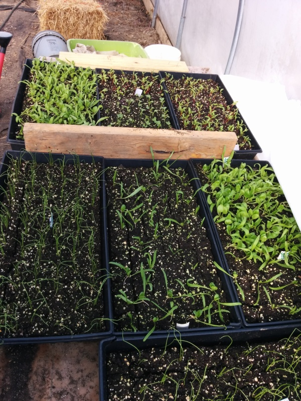 Flats of spinach, kale, green onions and swiss chard