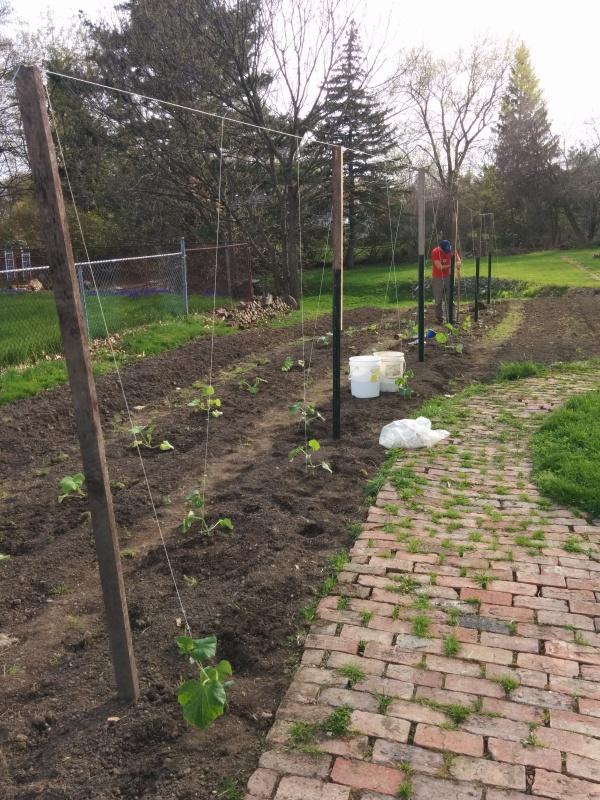 Planting cukes on a trellis