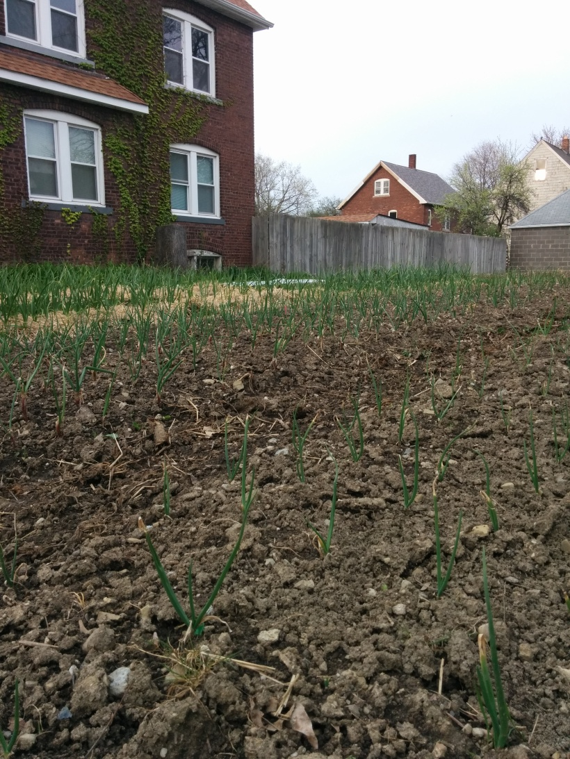 Spink managed to plant the onions in early April and garlic (in background) looks great!