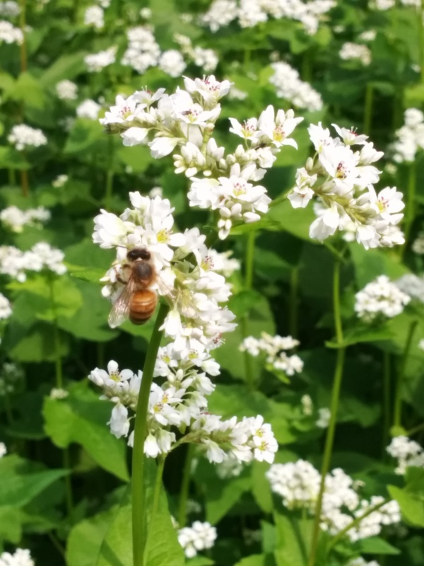 One of our honeybees (I believe)