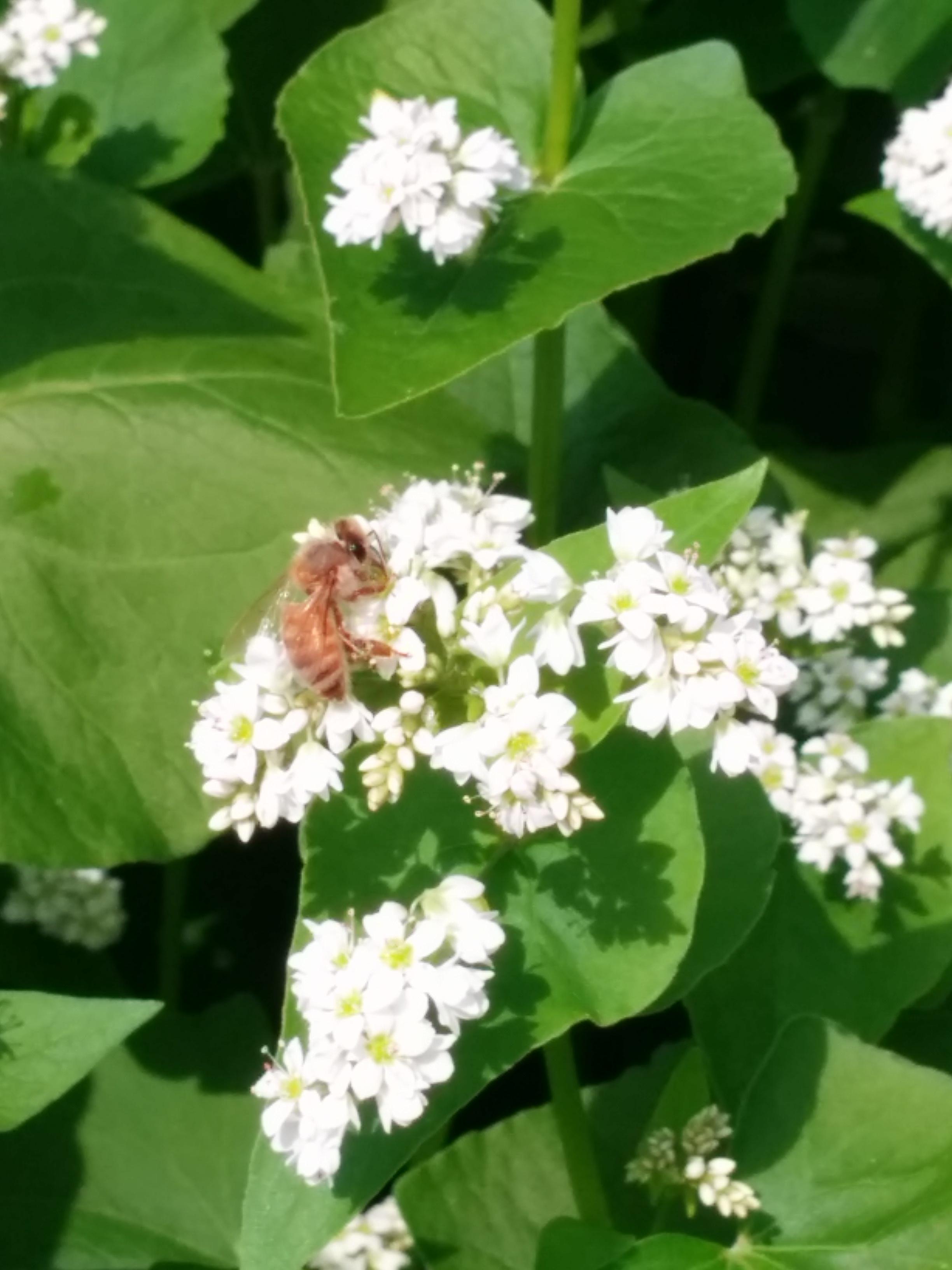 Another honeybee